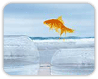 A goldfish, looking for change, jumping from a smaller fishbowl to a larger one