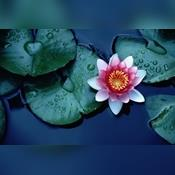 LotusFlower7