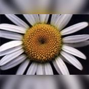 DaisyChainViolet