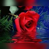 RED ROSE 99