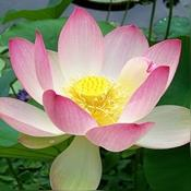 Taras Lotus Garden